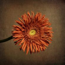 Orange Gerbera, Textured Background