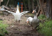 Three Walking Goose On At A Fa...
