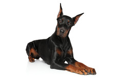 Doberman Dog Lying On A White ...