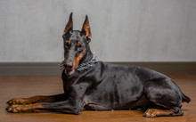 Portrait Of Doberman Pinscher Dog Indoor In Side View