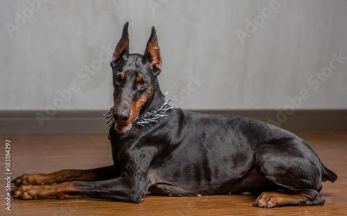 Fototapeta Portrait of Doberman Pinscher Dog indoor in side view