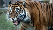 Close Up Portrait Of Sumatran ...