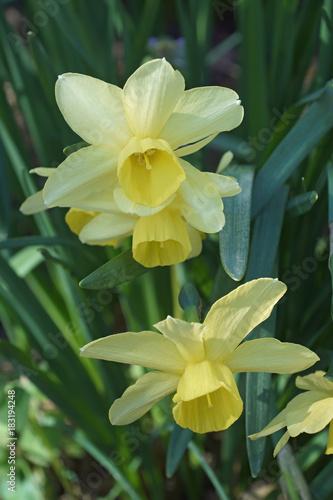 Fotografia, Obraz  Triandrus dafodil (Narcissus x Stint)