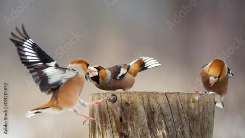 Stampa su Tela three hawfinch (Coccothraustes coccothraustes) on the winter bird feeder