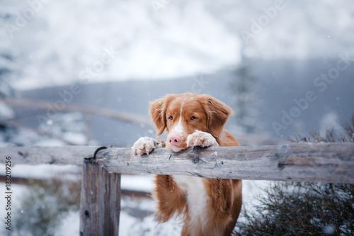 The Nova Scotia duck tolling Retriever dog in winter mountains Wallpaper Mural