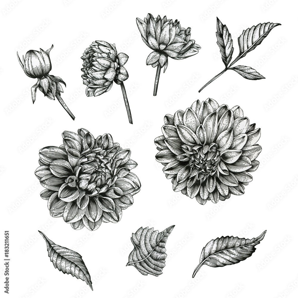 Fototapety, obrazy: Flowers set of dahlias and leaves