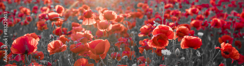 Foto op Canvas Poppy panorama with red poppies, selective color