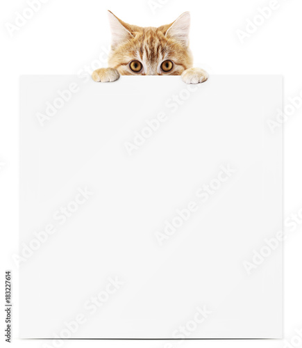 funny pet cat showing a placard isolated on white background blank template and copy space