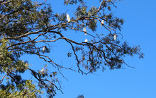 Gum Tree Full Of Cookatoo Bird...