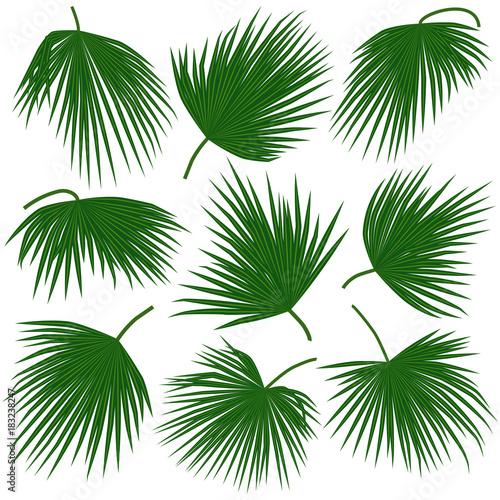 green palm leaves trachycarpus Wall mural