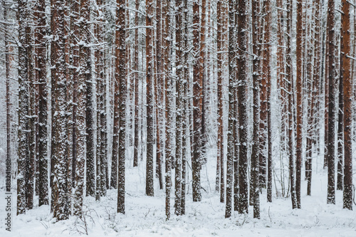 Tuinposter Berkbosje Beautiful winter forest. Trunks of trees covered with snow. Winter landscape. White snows covers ground and trees. Majestic atmosphere. Snow nature. Outdoor shot