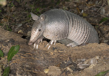 Nine-banded Armadillo (Dasypus Novemcinctus), Adult, Foraging At Night, Brazos Bend State Park, Needville, Texas, USA.