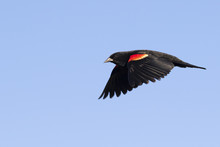 Male Red-winged Blackbird (Age...