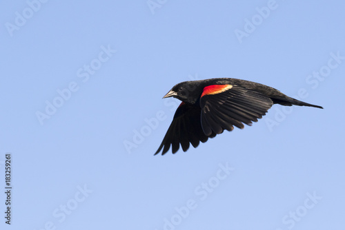 Male red-winged blackbird (Agelaius phoeniceus) flying, Galveston, Texas, USA Wallpaper Mural
