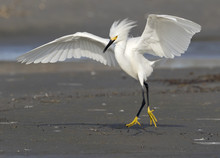 Snowy Egret (Egretta Thula) Walking With Threatening Posture, Galveston, Texas, USA.