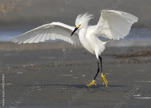 Snowy egret (Egretta thula) walking with threatening posture, Galveston, Texas, USA Wallpaper Mural