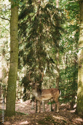 Poster Cerf A beautiful wild deer with horns in the autumn forest among the trees.
