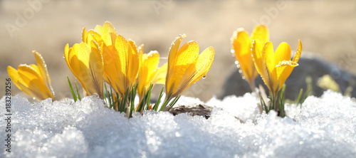 Tuinposter Krokussen Crocuses yellow blossom on a spring sunny day in the open air. Beautiful primroses against a background of brilliant white snow.