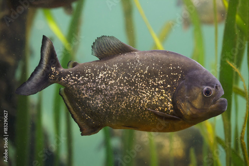 Red piranha (Pygocentrus nattereri) Wallpaper Mural