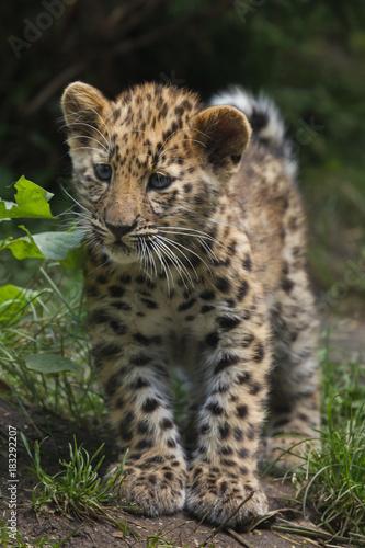 Fototapeta premium Amur leopard (Panthera pardus orientalis)