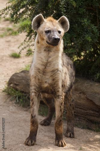 Garden Poster Hyena Spotted hyena (Crocuta crocuta)