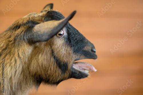 Closeup goat bleating Wallpaper Mural