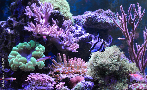 Staande foto Koraalriffen Reef tank, marine aquarium. Blue aquarium full of plants. Tank filled with water for keeping live underwater animals. Gorgonaria, Sea Fan. Zebrasoma. Hawkfish, Clownfish, Nemateleotris decora.