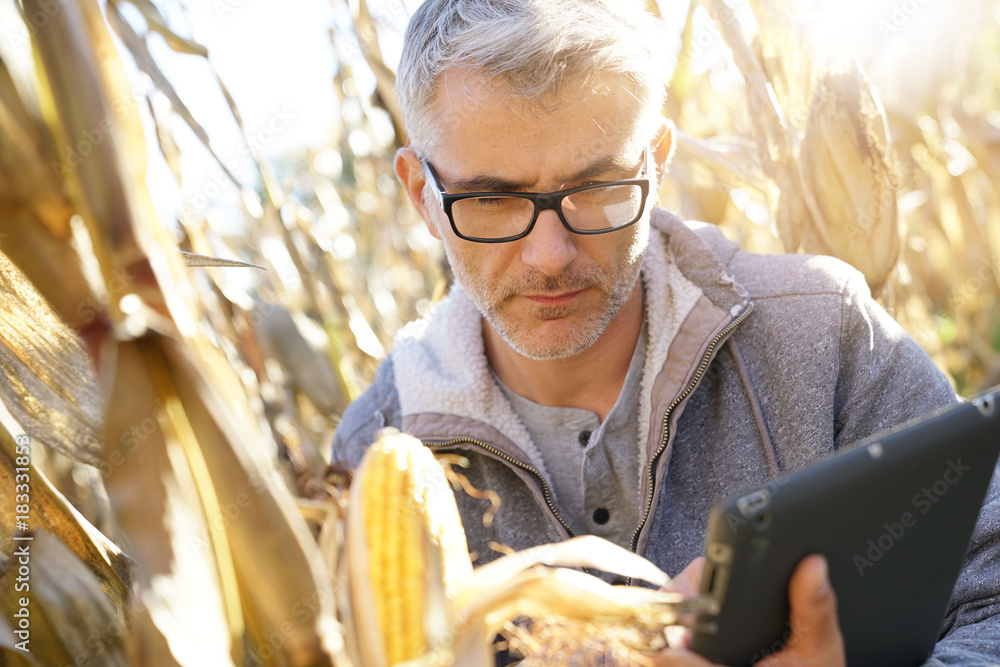 Fototapety, obrazy: Agronomist in corn field testing quality of cereals