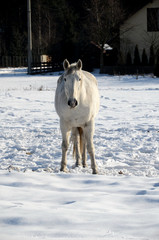 White horse on a snowy meadow in winter