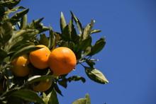 Satsuma Orange - Citrus Unshiu...