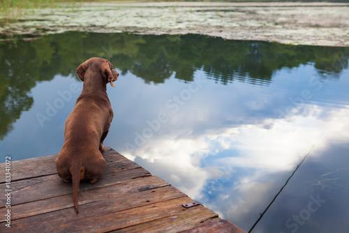 Fotografie, Tablou  Такса сидит на деревянном мостике над озером.