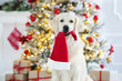canvas print picture golden retriever dog holding a santa hat in mouth
