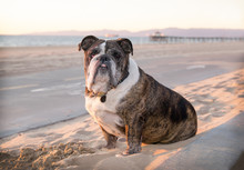Senior Brindle Colored Bulldog...