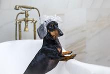 Dog Dachshund, Black And Tan, ...