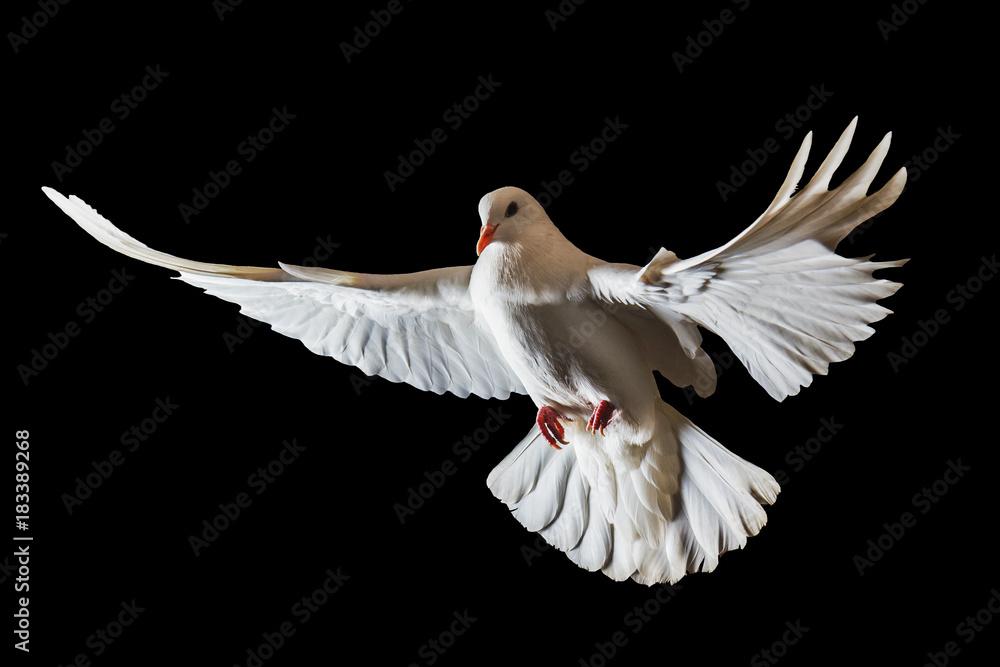 Christmas white bird flying on a black background