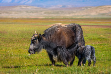 Female Yak With Its Baby In Th...