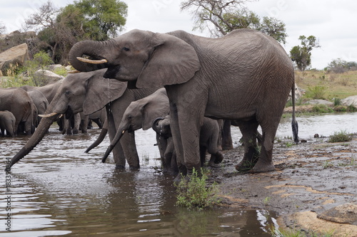 Canvas Prints Elephant Elepants in Kruger National Park, South Africa