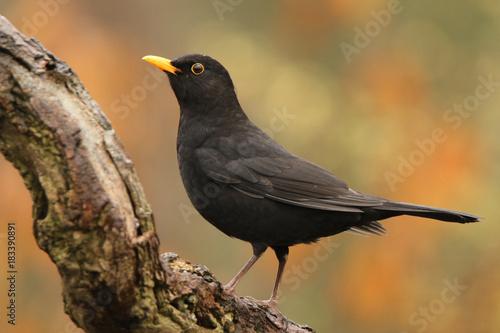 Blackbird against beautiful background Wallpaper Mural