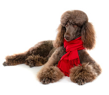 Laying Down Standard Poodle In And Red Scarf On White Background