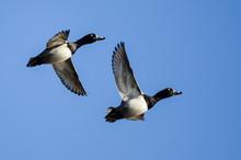 Two Ring-Necked Ducks Flying I...