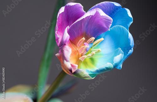 In de dag Macrofotografie Macro image of a beautiful multi colour tulip on a grey background