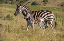Mother Zebra And Her Foal