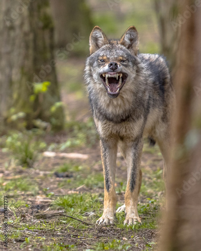 Agressive European grey Wolf