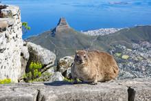Cape Hyrax Dassie Table Mountain