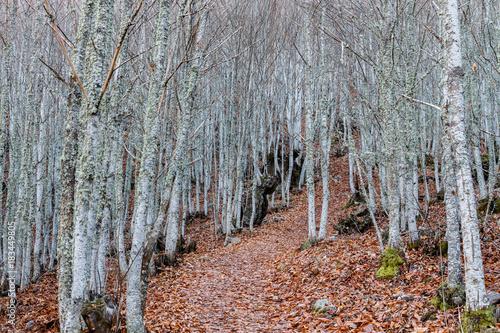 Sendero y bosque de castaños en otoño. Castanea sativa.