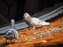 Pigeon Or Dove Bird Standing O...