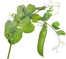 Pea Stem With Green Pod And Th...