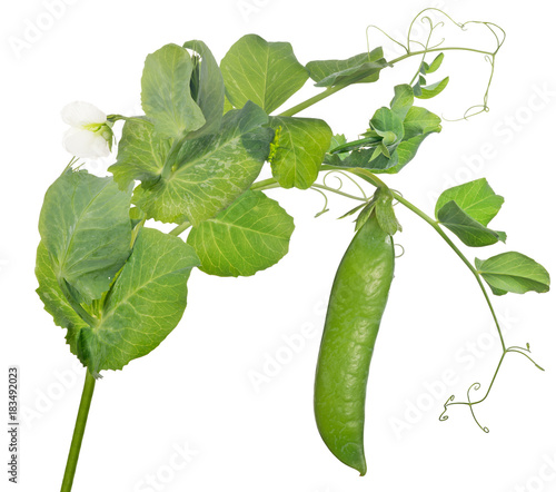 pea stem with green pod and thinl curls