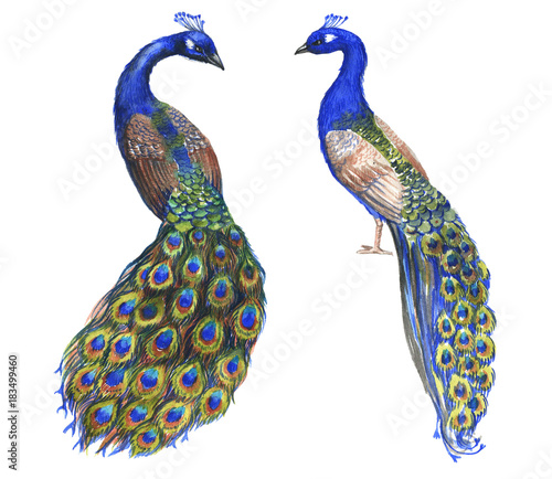 Hand drawn watercolor couple of peacocks birds isolated on the white background Wall mural