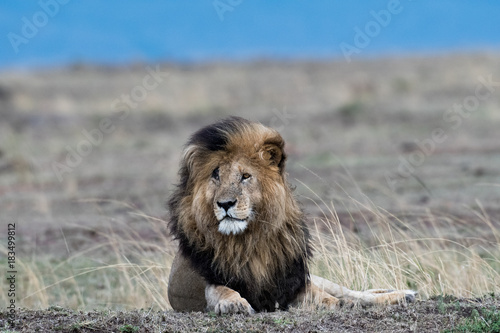 Photo  Male african lion